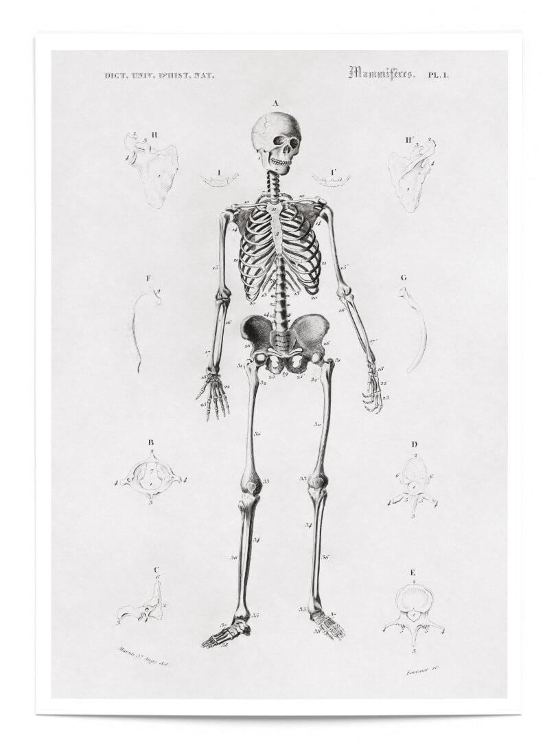 Le squelette 1