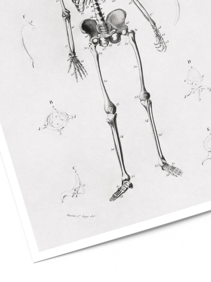 Le squelette 2