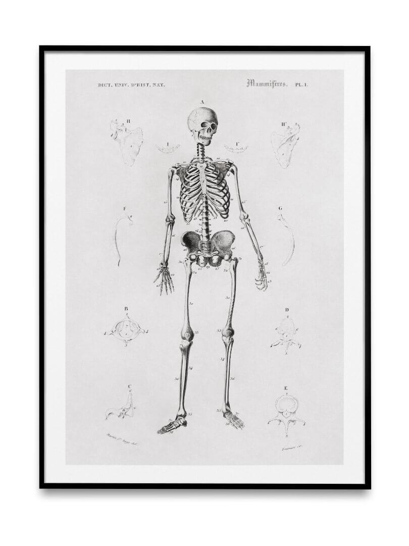 Le squelette 3