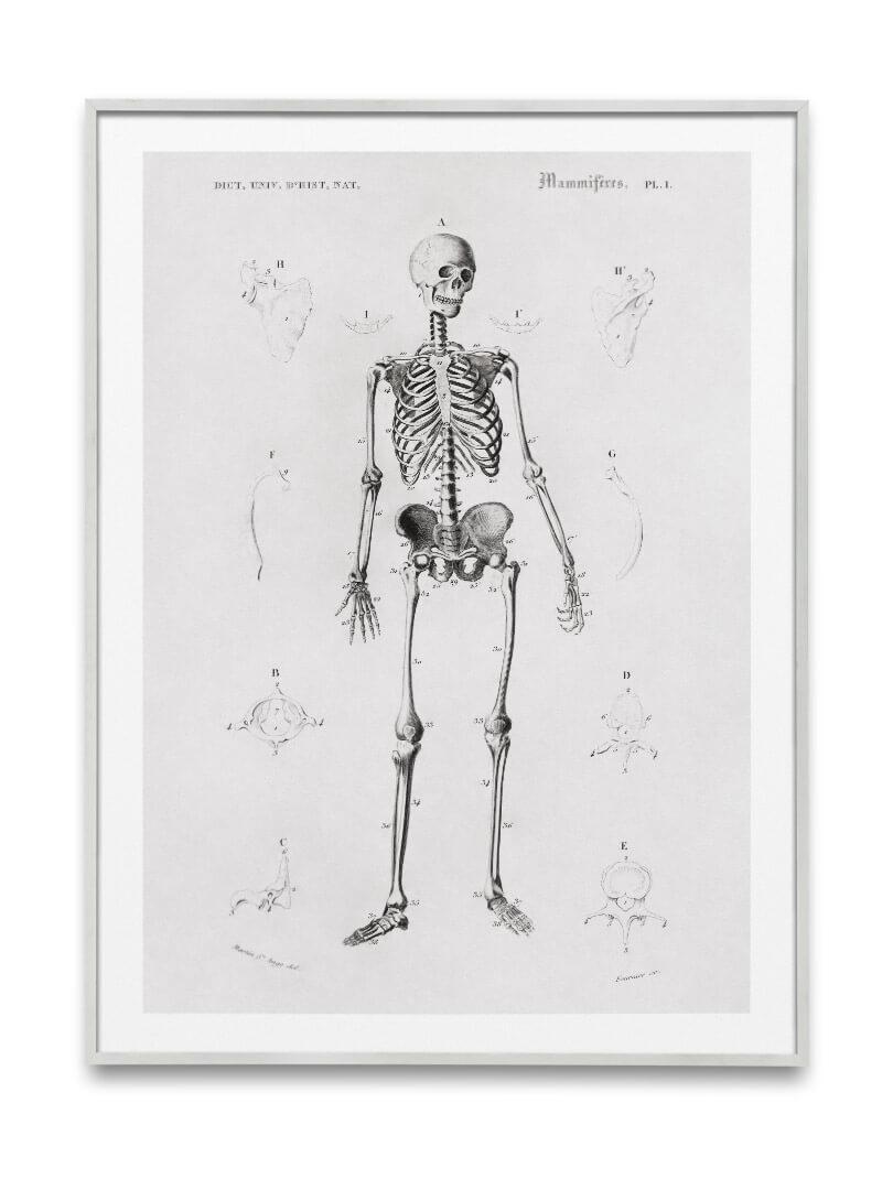 Le squelette 4